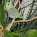 Воробьиный попугайчик - особенности вида