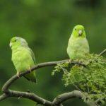 Воробьиный попугайчик - поддается обучению
