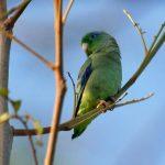 Воробьиный попугайчик - содержание