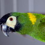 Желтошейный ара - игривый вид