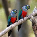 Жемчужный попугайчик - доброжелательный вид