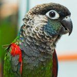 Жемчужный попугайчик - миролюбивый вид