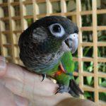 Жемчужный попугайчик - особенности вида