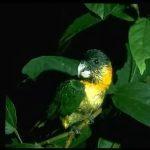 Черноголовый белобрюхий попугай - доброжелательный вид