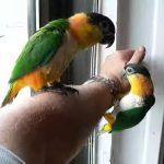 Черноголовый белобрюхий попугай - дружелюбный вид