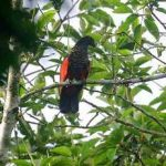 Грифовый попугай - экзотический вид