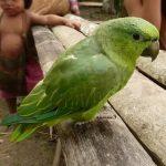 Короткохвостый попугай - дружелюбный вид