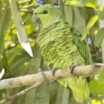Короткохвостый попугай - особенности вида