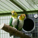 Рыжеголовый белобрюхий попугай - активный вид