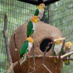 Рыжеголовый белобрюхий попугай - общительный вид