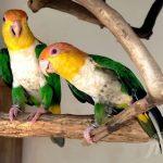 Рыжеголовый белобрюхий попугай - описание вида