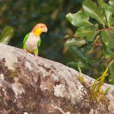 Рыжеголовый белобрюхий попугай - особенности вида