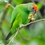 Украшенный попугай краснолобый - описание вида