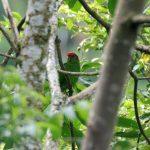Украшенный попугай краснолобый - уход