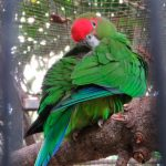 Украшенный попугай краснолобый - яркий вид