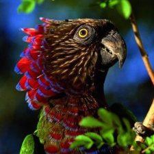 Веерные попугаи - описание вида