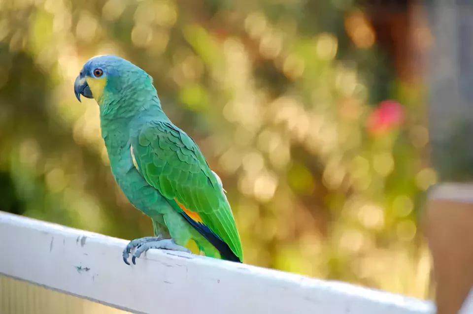 достаточно выйти фото венесуэльского попугая перца требуется, если