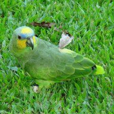 Венесуэльский амазон - редкий вид