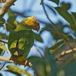 Желтобрюхий попугай - особенности вида