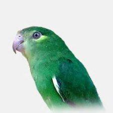 Зеленые воробьиные попугайчики - описание вида