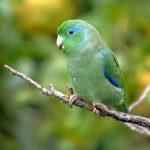 Зеленые воробьиные попугайчики - особенности вида
