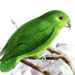 Зеленые воробьиные попугайчики - редкий вид