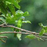 Зеленые воробьиные попугайчики - спокойный вид