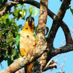Златоголовый украшенный попугай - дружелюбный вид