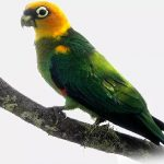 Златоголовый украшенный попугай - описание вида