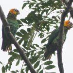 Златоголовый украшенный попугай - содержание