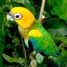 Златоголовый украшенный попугай - тихий вид