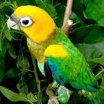 Златоголовый украшенный попугай - уход
