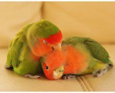 Попугаи неразлучники в домашних условиях