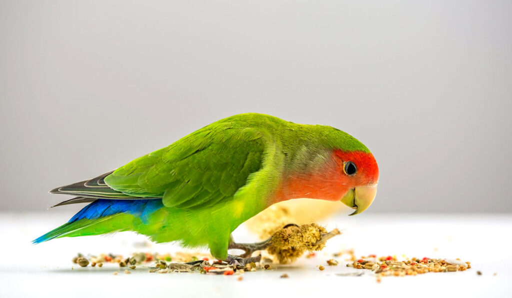 Неразлучник ест зерно фото