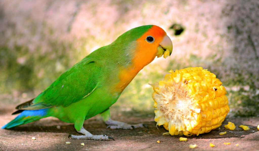 Неразлучник кушает кукурузу фото