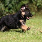 Немецкая овчарка - подвижные и темпераментные собаки