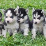 Собаки породы хаски - очень любят общение