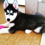 Хаски - порода собак с инстинктом охотника