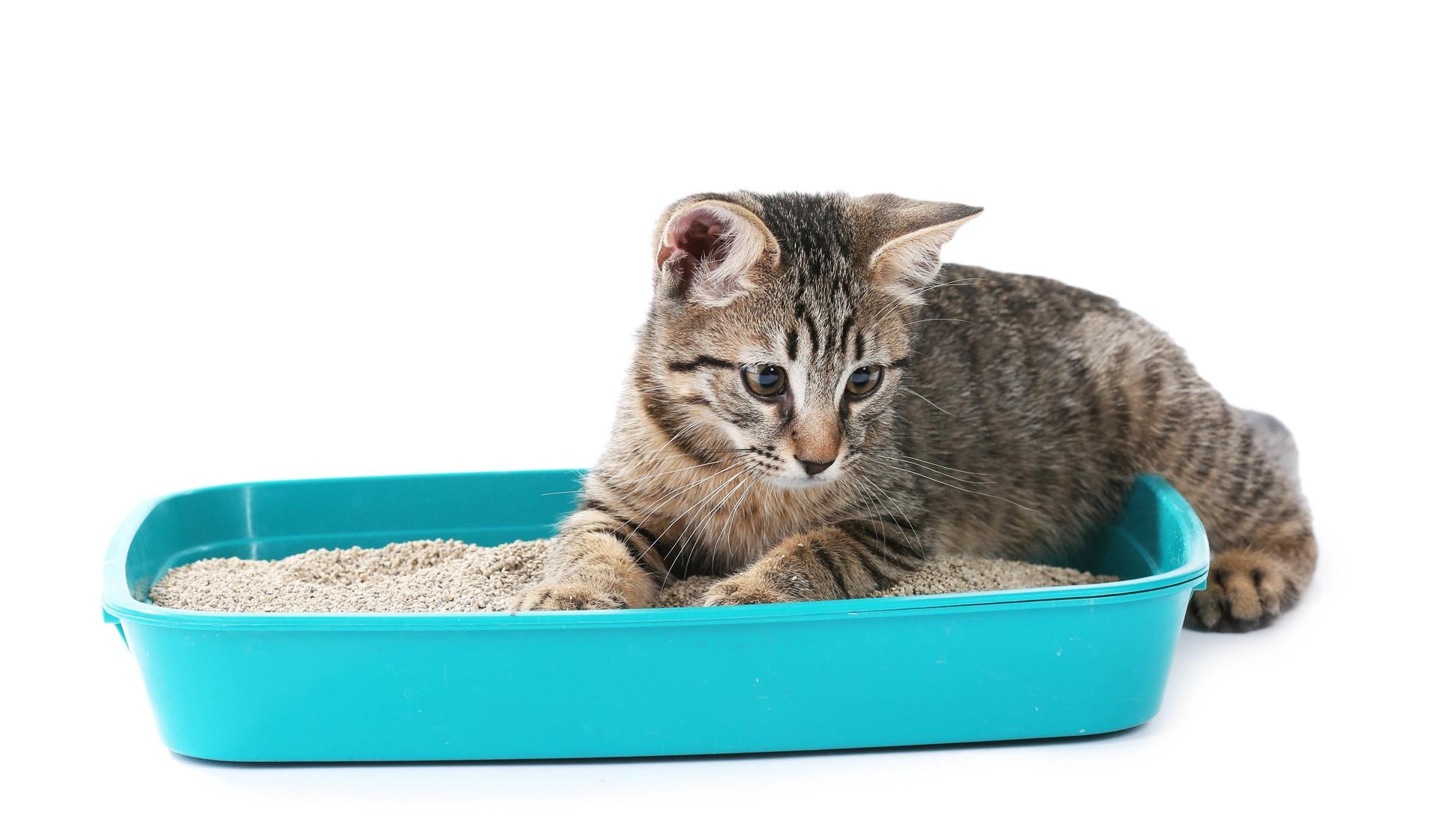 Неопрятность кошки
