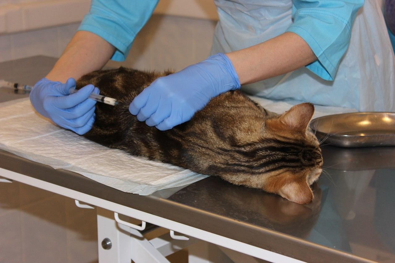 Стерилизация и кастрация котов и кошек: оптимальный возраст, методы, подготовка к операции и реабилитация