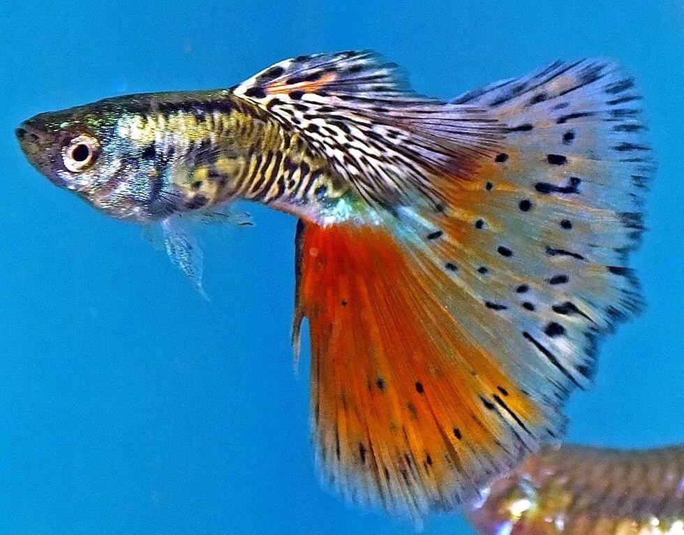 Неприхотливые рыбки в картинках
