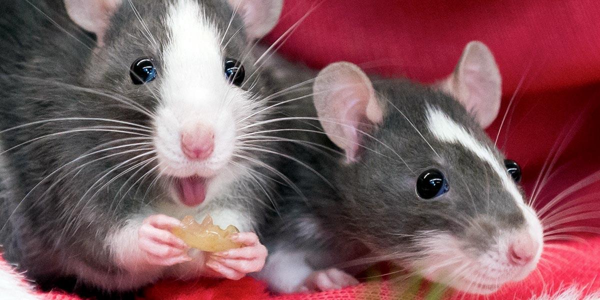 Декоративные крысы