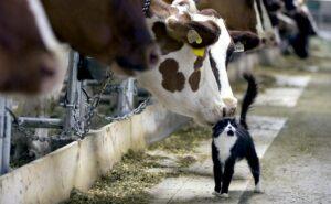 Кошка и корова