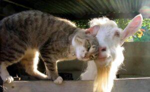 Кощка и коза