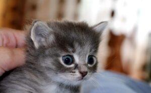 Котенок в 1 месяц