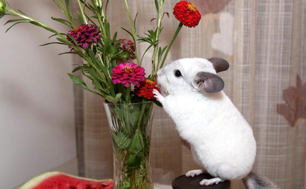 Шиншилла ест цветы
