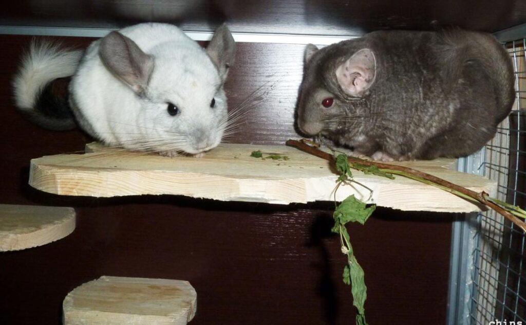 Шиншиллы едят ветки