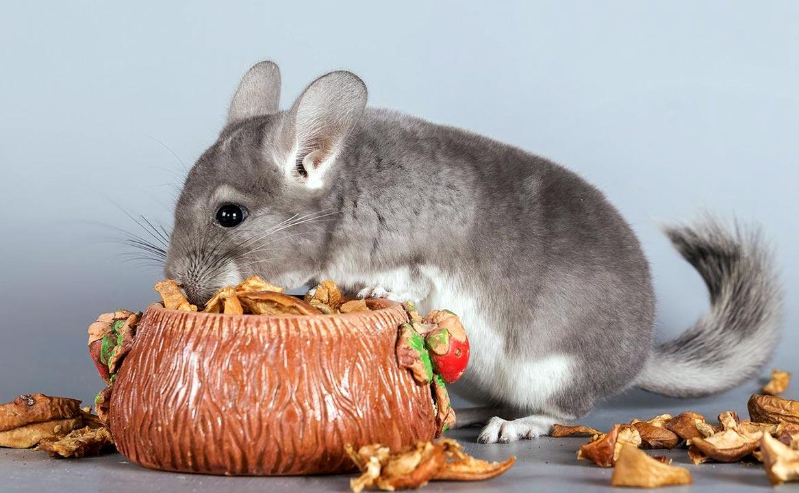 Как и чем кормить шиншиллу