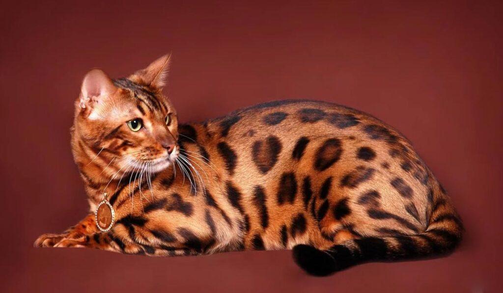 Экзотическое животное бенгальская кошка