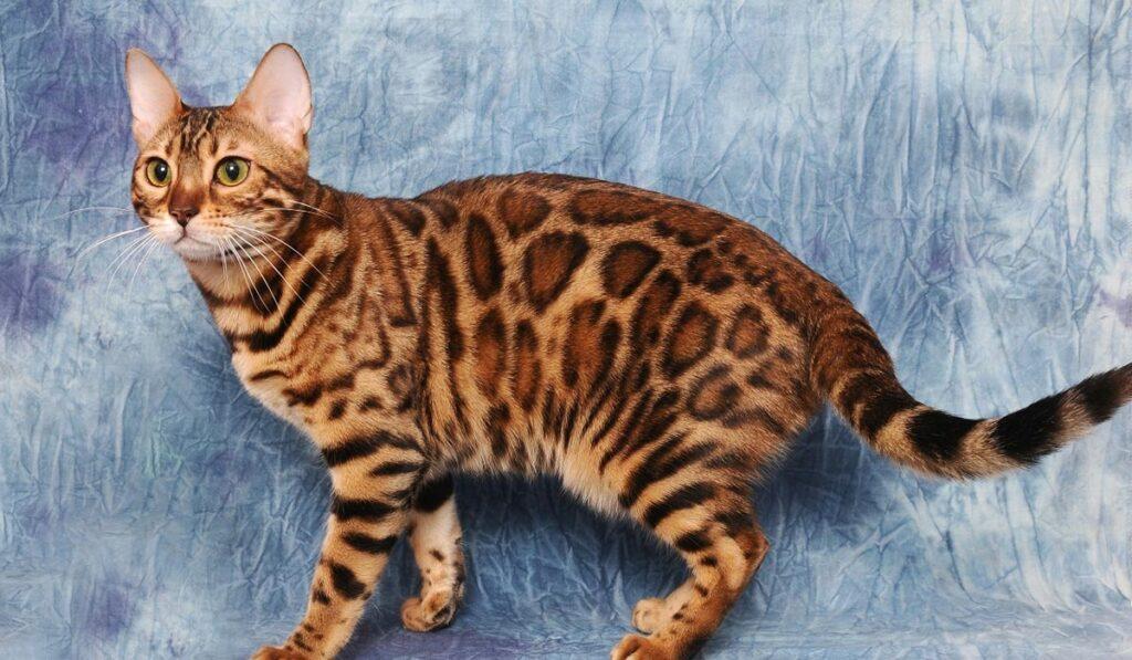 Бенгальская кошка brown